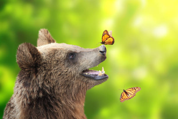 cheerful brown bear with butterfly sitting on his nose - wildlife conservation stock photos and pictures