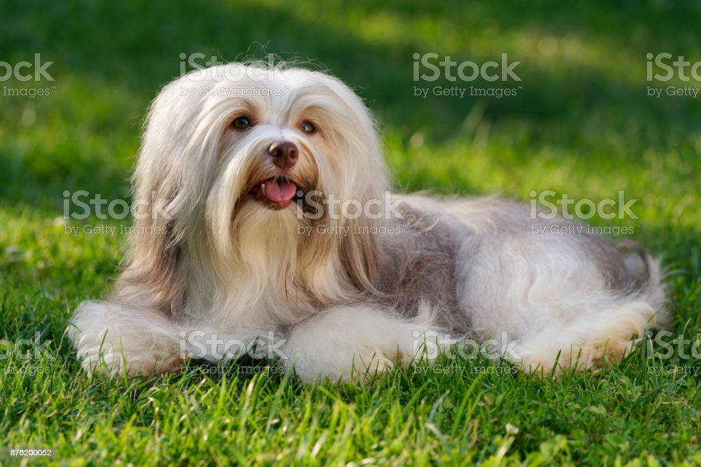 Cheerful chocolate colored havanese dog in the grass stock photo
