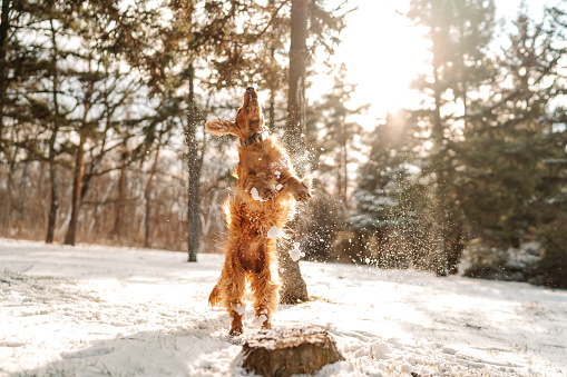 Cheerful cocker spaniel playing in the snow