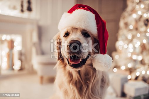istock Cheerful dog labrador is sitting in Santa Claus hat. 879631660