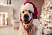 Cheerful dog labrador is sitting in Santa Claus hat.