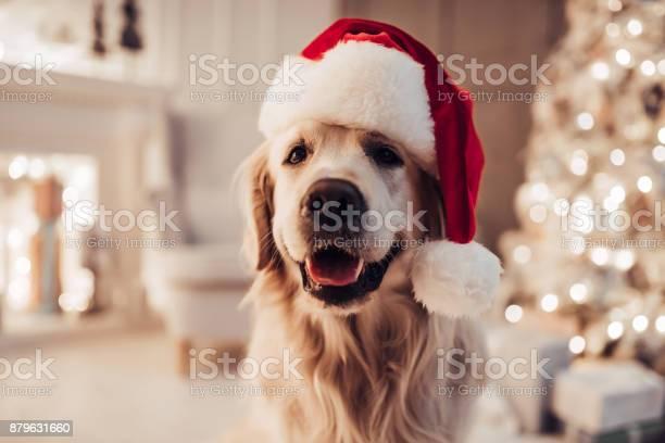 Cheerful dog labrador is sitting in santa claus hat picture id879631660?b=1&k=6&m=879631660&s=612x612&h=x2zragshp7bi amor vunfevxavhg hcgqzkcpzg0da=