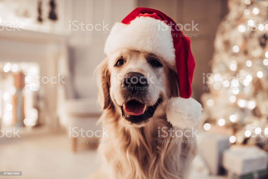 Cheerful dog labrador is sitting in Santa Claus hat. stock photo