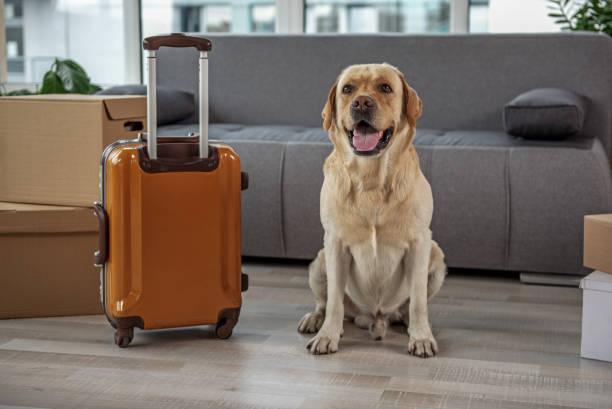 fröhlicher hund suchen in der nähe von gepäck zu hause - gepäck verpackung stock-fotos und bilder