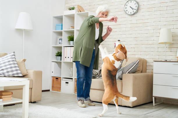 mujer senior moderna extática alegre en ropa casual con perros tratar al perro de adiestramiento beagle en casa, parado en anuncio de patas traseras pidiendo alimento de mascotas - alimentar a tu perro fotografías e imágenes de stock