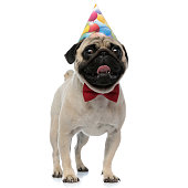 Cheerful pug panting and smiling while wearing a birthday hat and a red bowtie, standing on white studio background