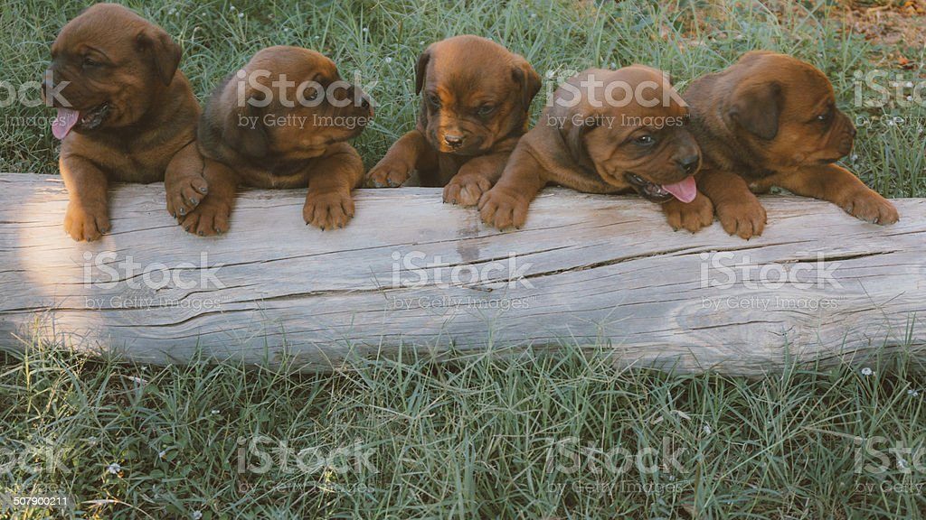 Cheerful puppies royalty-free stock photo