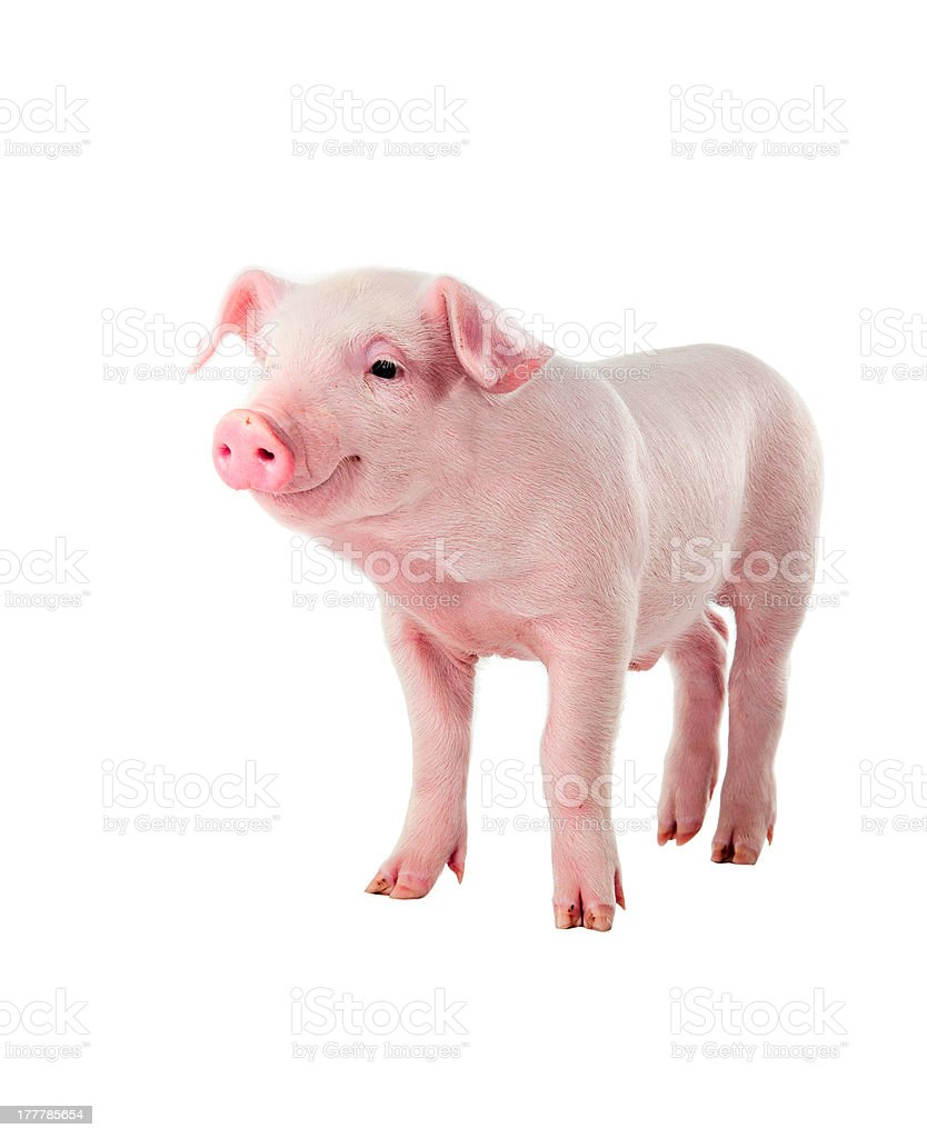 Cheerful smiling pig. Isolated on white background. stock photo
