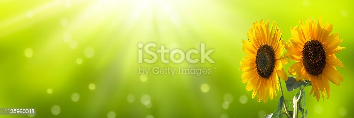 istock cheerful sunflowers on sunny abstract background 1135960018