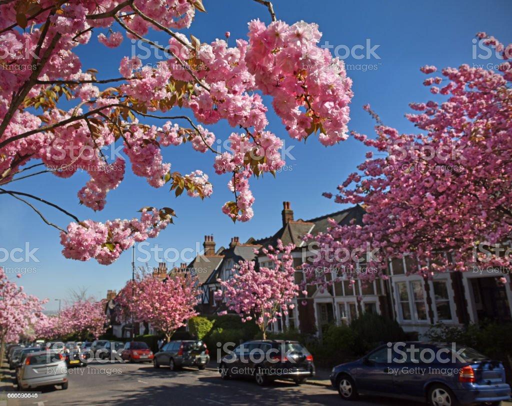 Cheery Blossom in London stock photo