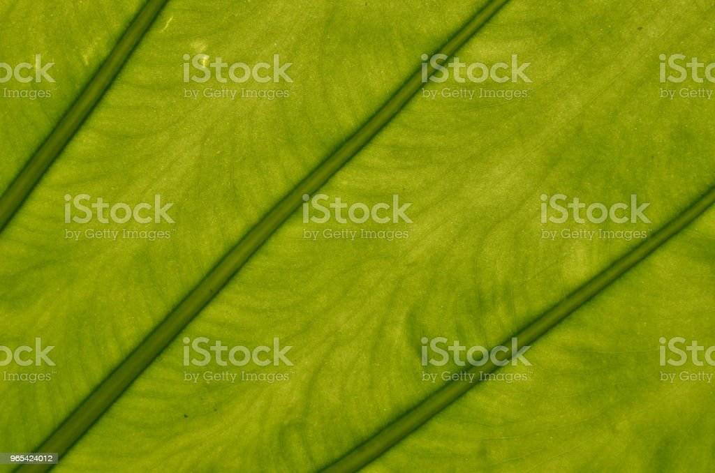 Cheese plant leaf veins closeup royalty-free stock photo
