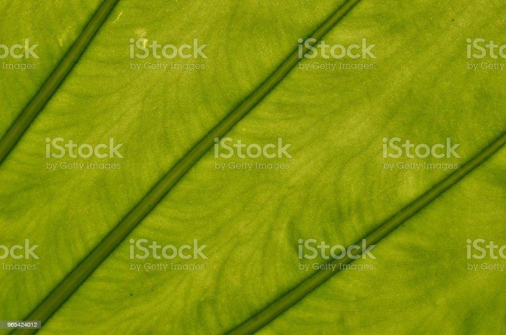 Cheese plant leaf veins closeup zbiór zdjęć royalty-free