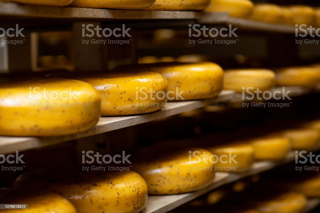 Cheese wheels on the shelf of the storage during the aging process