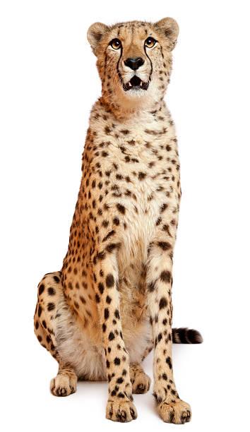 cheetah, acinonyx jubatus, 18 months old, sitting - jachtluipaard stockfoto's en -beelden