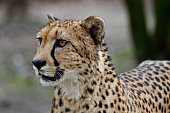 Cheetah (Acinonyx jubatus) lying in the grass
