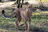 Cheetah yawning as it rests.