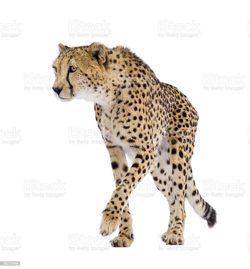 Cheetah-Acinonyx jubatus - foto de stock