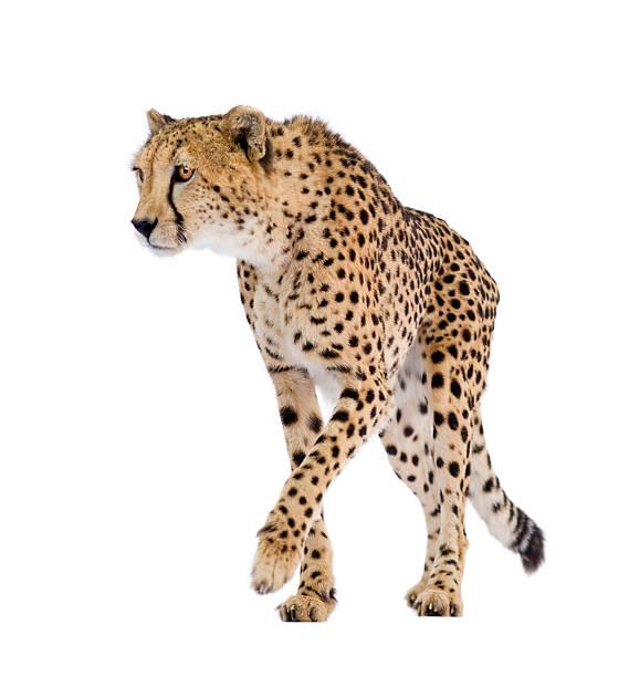 cheetah - acinonyx jubatus - jachtluipaard stockfoto's en -beelden