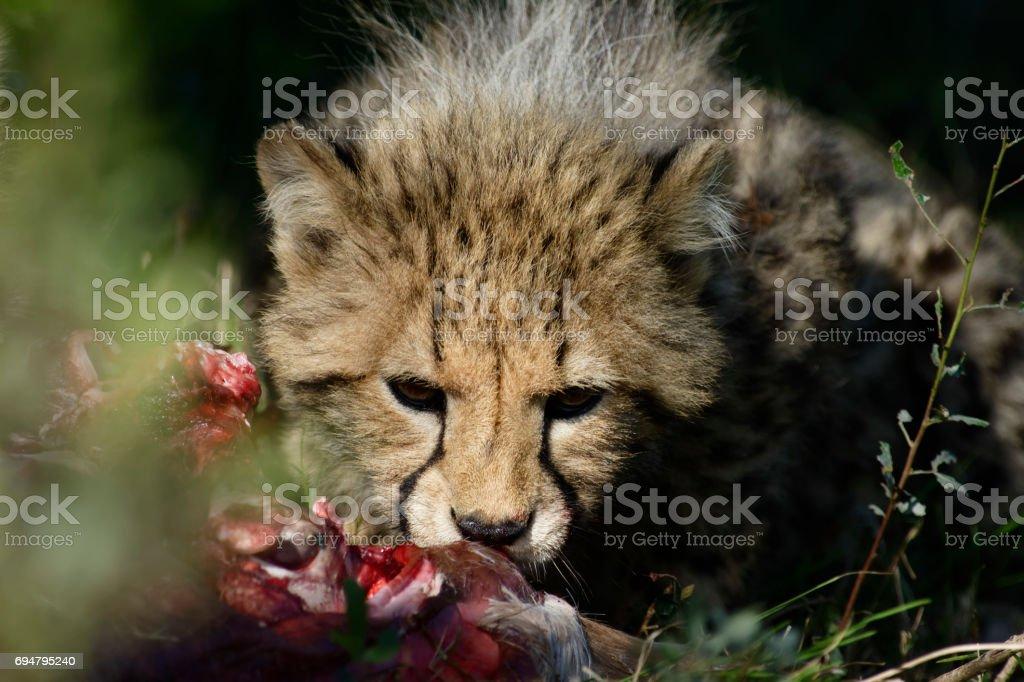 Cheetah, Addo Elephant National Park stock photo