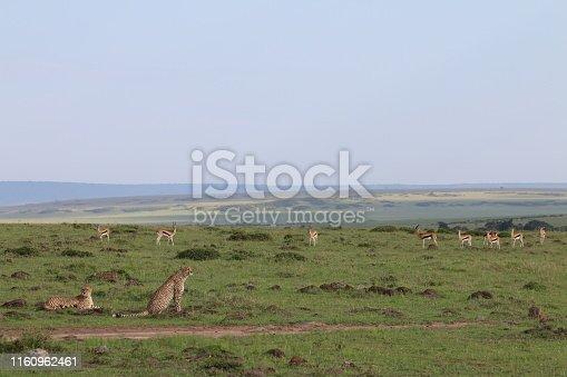 Cheetah and antelopes confronting in the Maasai Mara. It