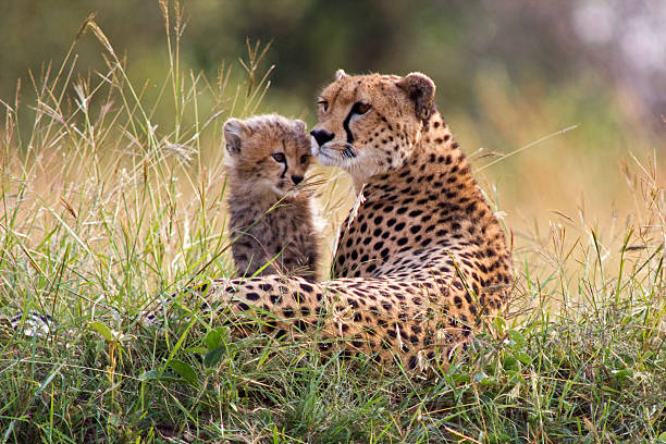 cheetah and cub - jachtluipaardwelp stockfoto's en -beelden