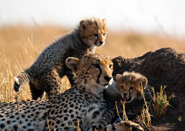 cheetah and cubs - jachtluipaardwelp stockfoto's en -beelden