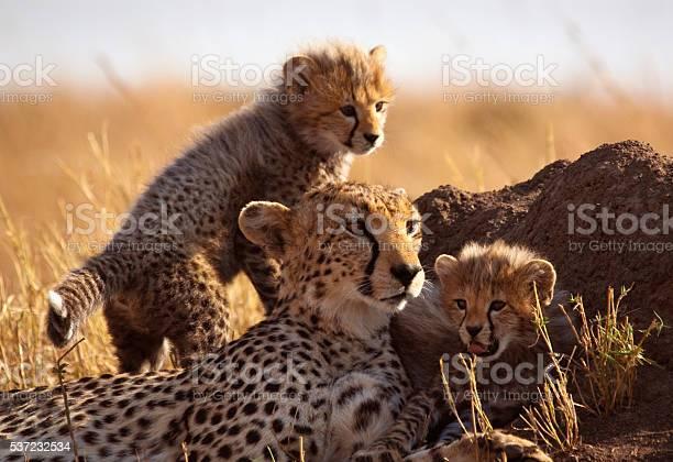 Cheetah and cubs picture id537232534?b=1&k=6&m=537232534&s=612x612&h=d67 uo7hslwy76xfabmlg8vpmtrx lhyvtnygnj5pzc=