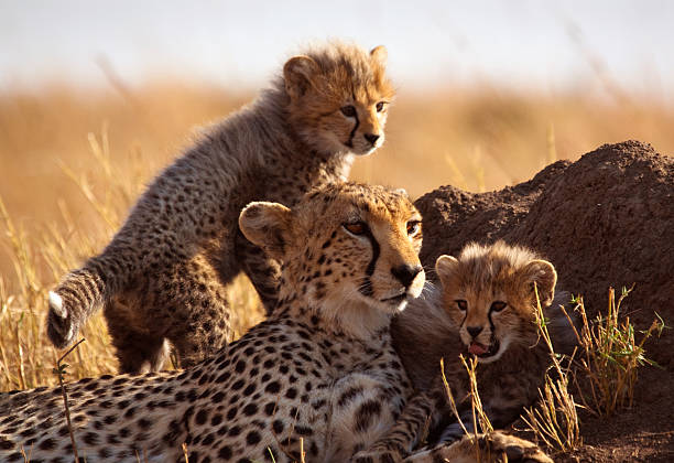 cheetah and cubs - wildlife stock photos and pictures