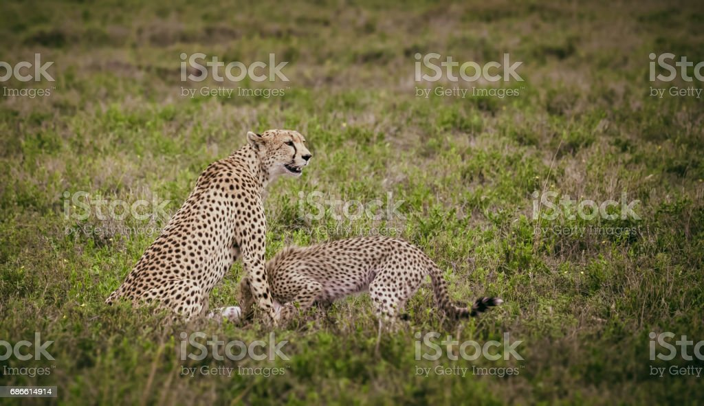 Cheetah and gazzelle in its jaws royalty-free stock photo