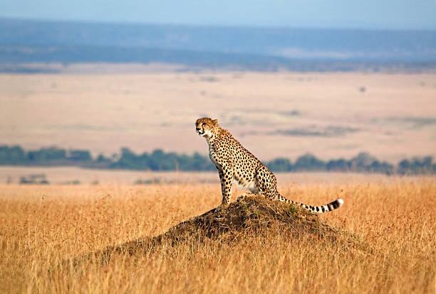 cheetah and open landscape - jachtluipaard stockfoto's en -beelden