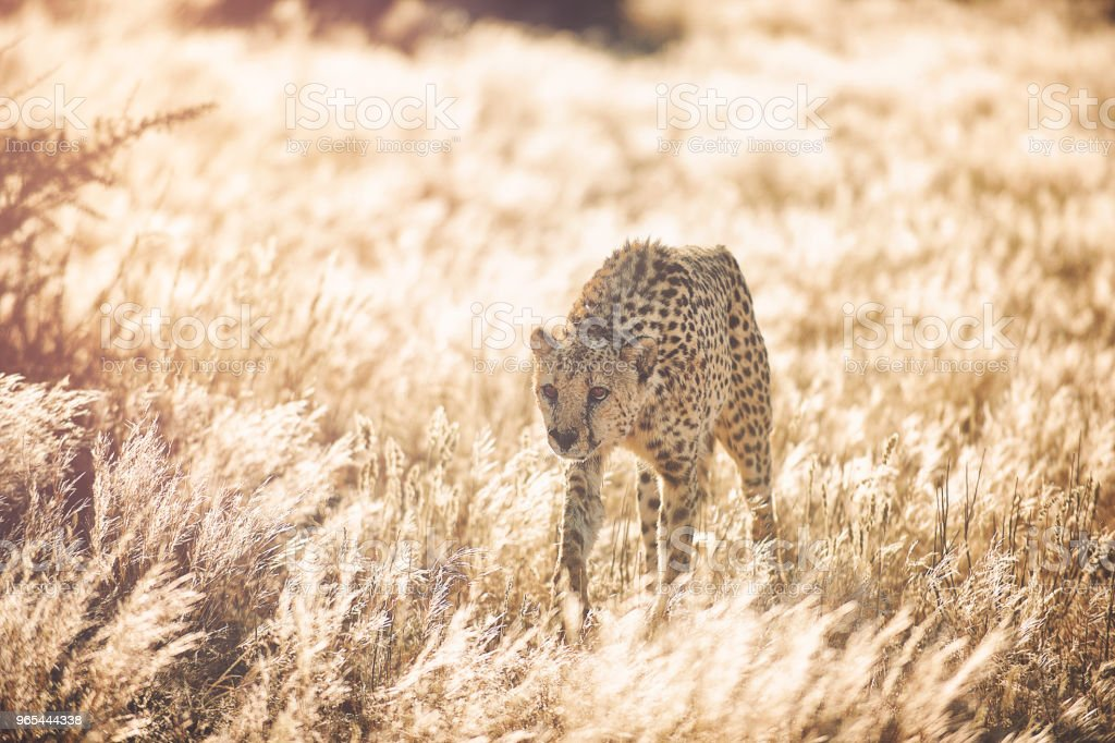 Cheetah approaching in golden grass zbiór zdjęć royalty-free