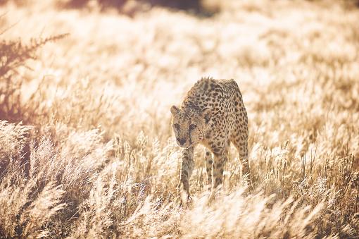 황금 잔디에 접근 하는 치타 0명에 대한 스톡 사진 및 기타 이미지