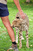 A cheetah licks the leg of a man while the man strokes the cat.