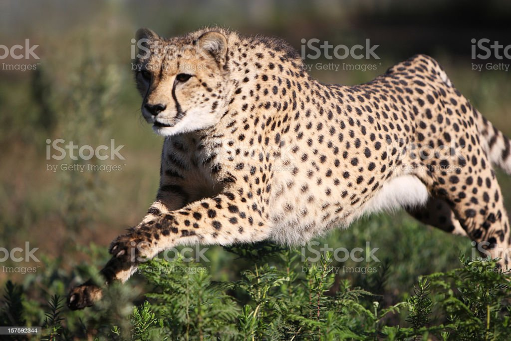 Cheetah at full speed stock photo