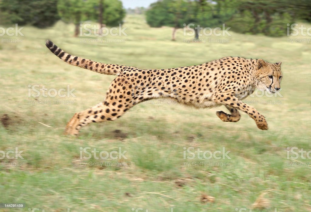 Cheetah at full stride stock photo