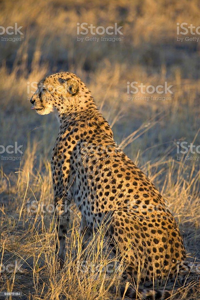 Cheetah at Sunset stock photo