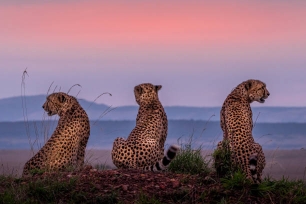 Cheetah brothers picture id1059841498?b=1&k=6&m=1059841498&s=612x612&w=0&h=lsbkmtjelizmapmmz nct 3pydrf48kzqrcp4ro2fae=