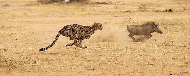 Cheetah chasing warthog at top speed Adult cheetah running at full speed chasing an adult warthog in South Africa transvaal province stock pictures, royalty-free photos & images