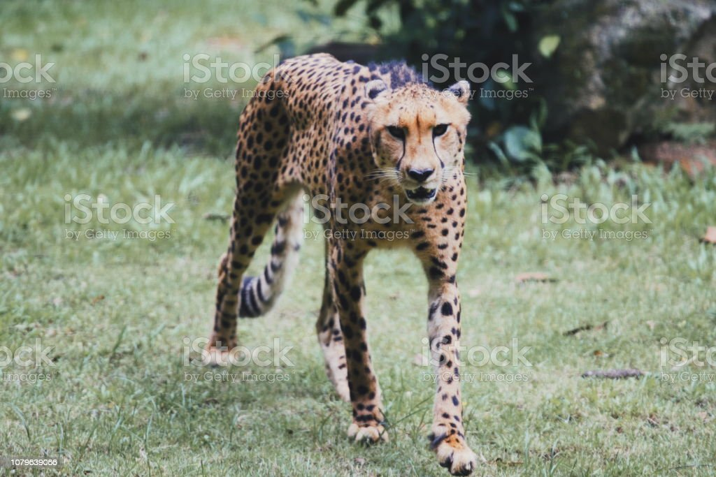 Cheetah close up in the wild stock photo