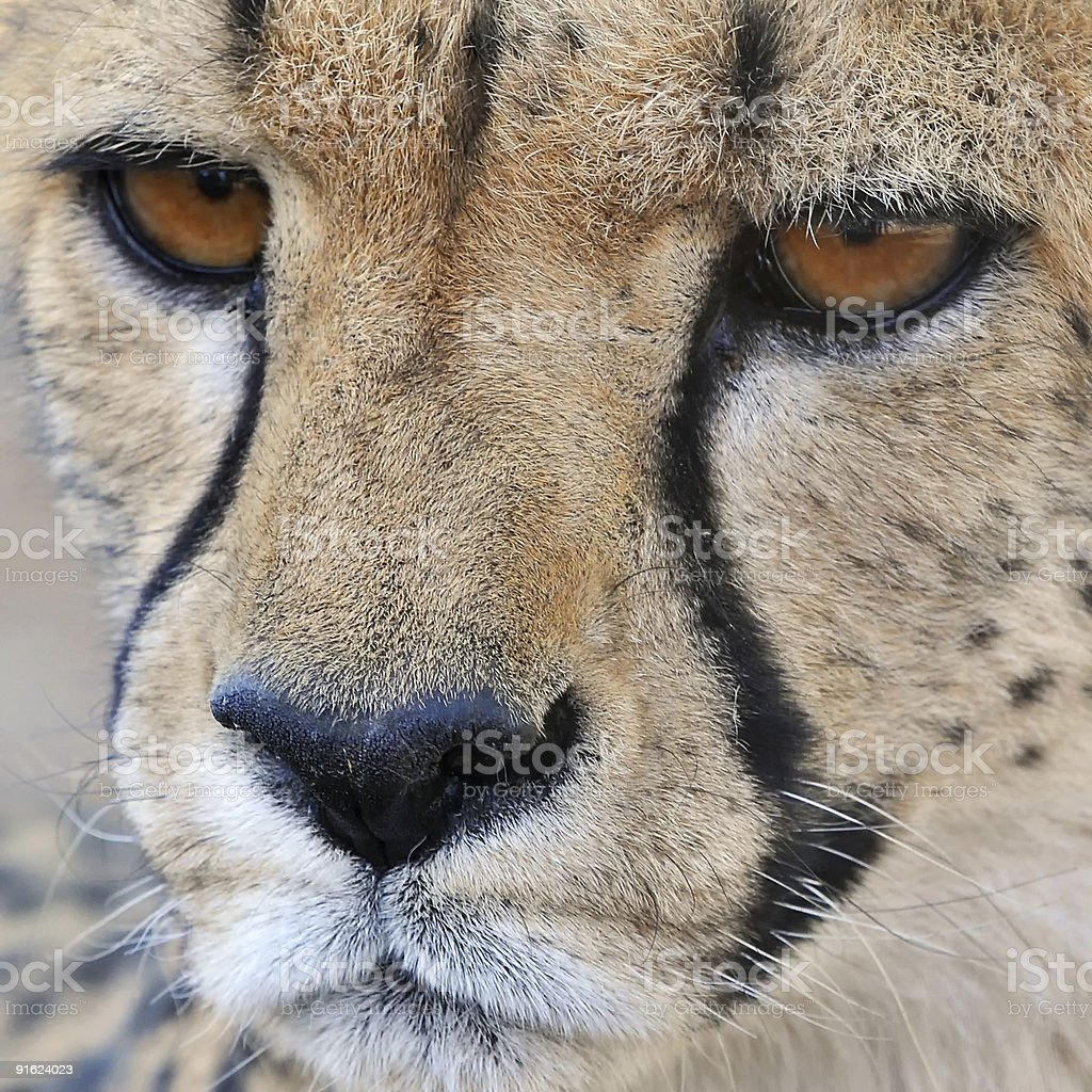 cheetah close up royalty-free stock photo