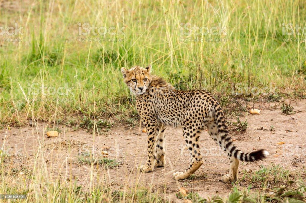 Cheetah cub at wild stock photo