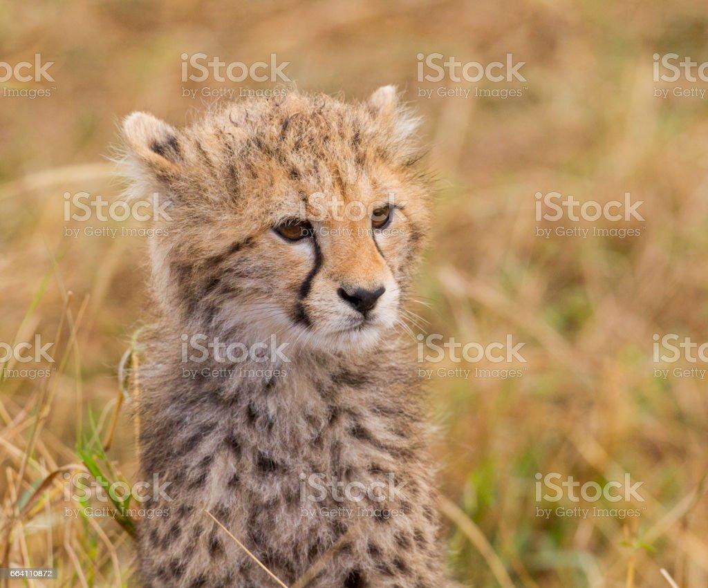 Cheetah Cub foto stock royalty-free
