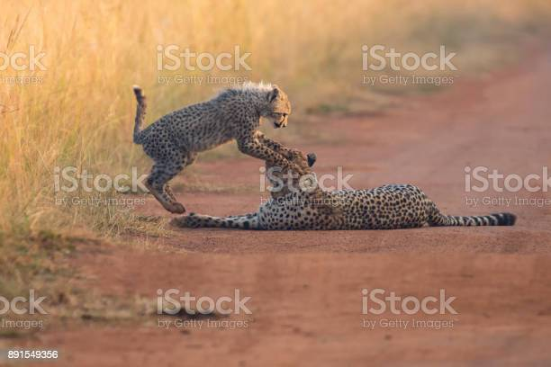 Cheetah cub playing with its mother in a road picture id891549356?b=1&k=6&m=891549356&s=612x612&h=7zhpvfx1xgklhdadgs9l z9sjacuckwalybn6lsvlhq=