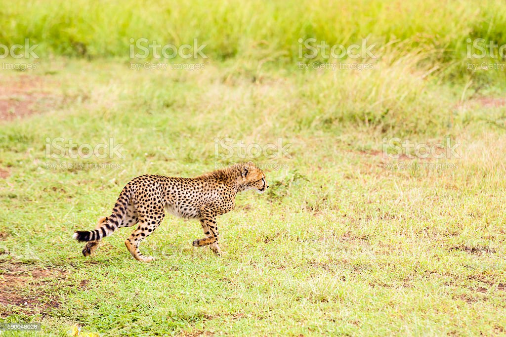 Cheetah Cub running - Watching and preying royalty-free stock photo