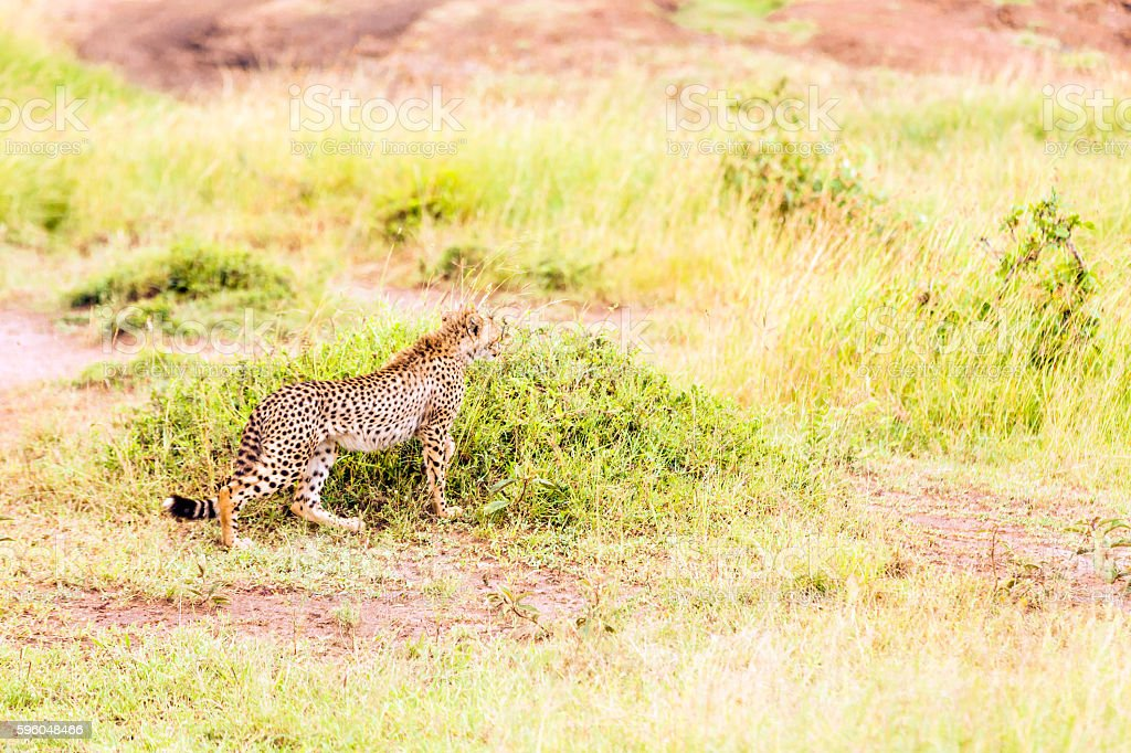 Cheetah Cub standing - Watching and preying royalty-free stock photo