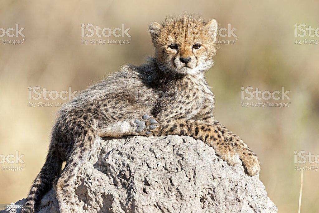 Gepardenjunges Sonnenbaden – Foto