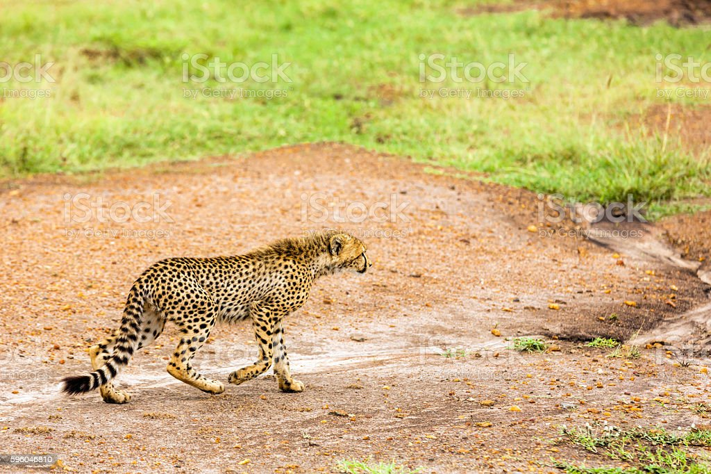 Cheetah Cub walking on dirt road - Watching and preying royalty-free stock photo