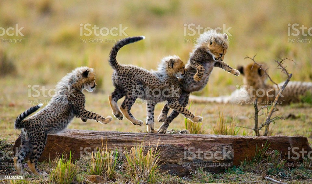 Cheetah cubs play with each other in the savannah. stock photo