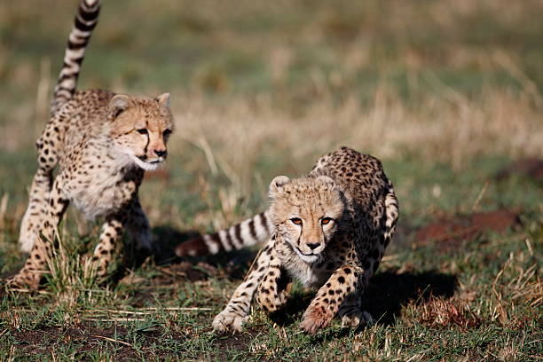 cheetah cubs playing - jachtluipaardwelp stockfoto's en -beelden