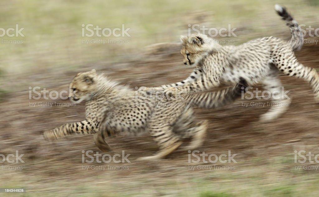 Cheetah cubs playing stock photo